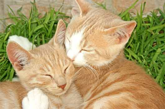 Two red tabby cats