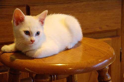 white kitten on stool